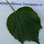 Kenaf Leaf Everglades