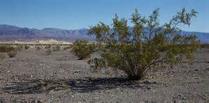 Desert Chaparral/Creosote